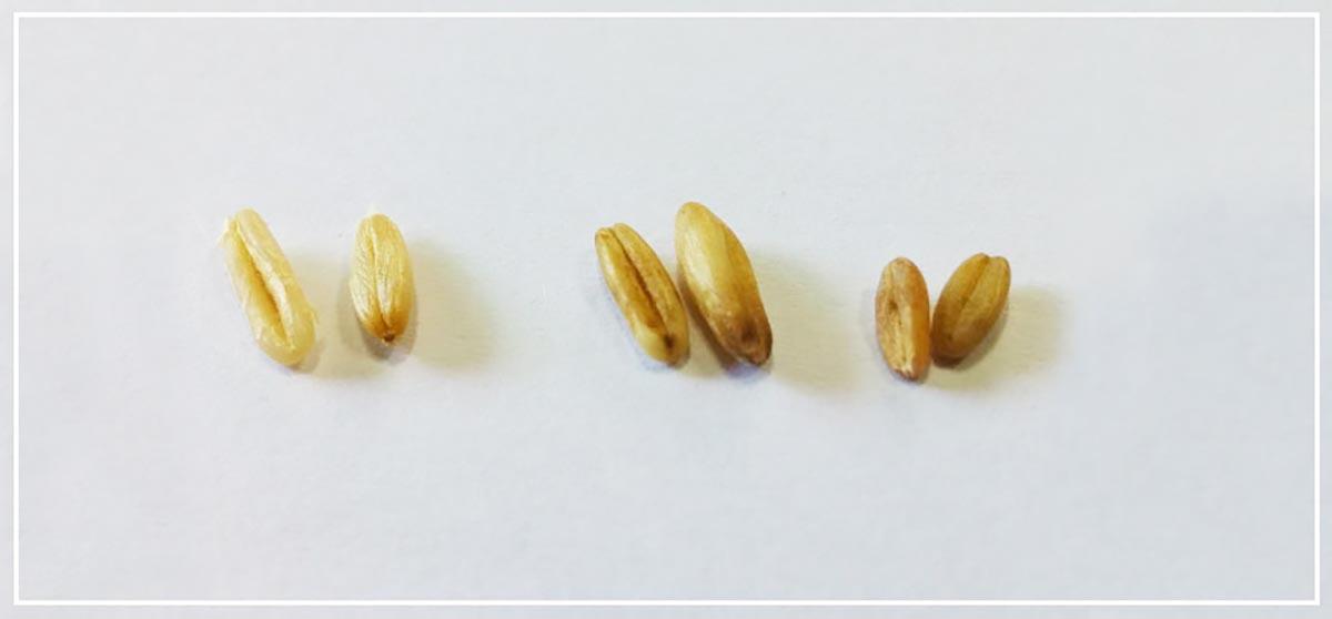 귀리알곡 샘플