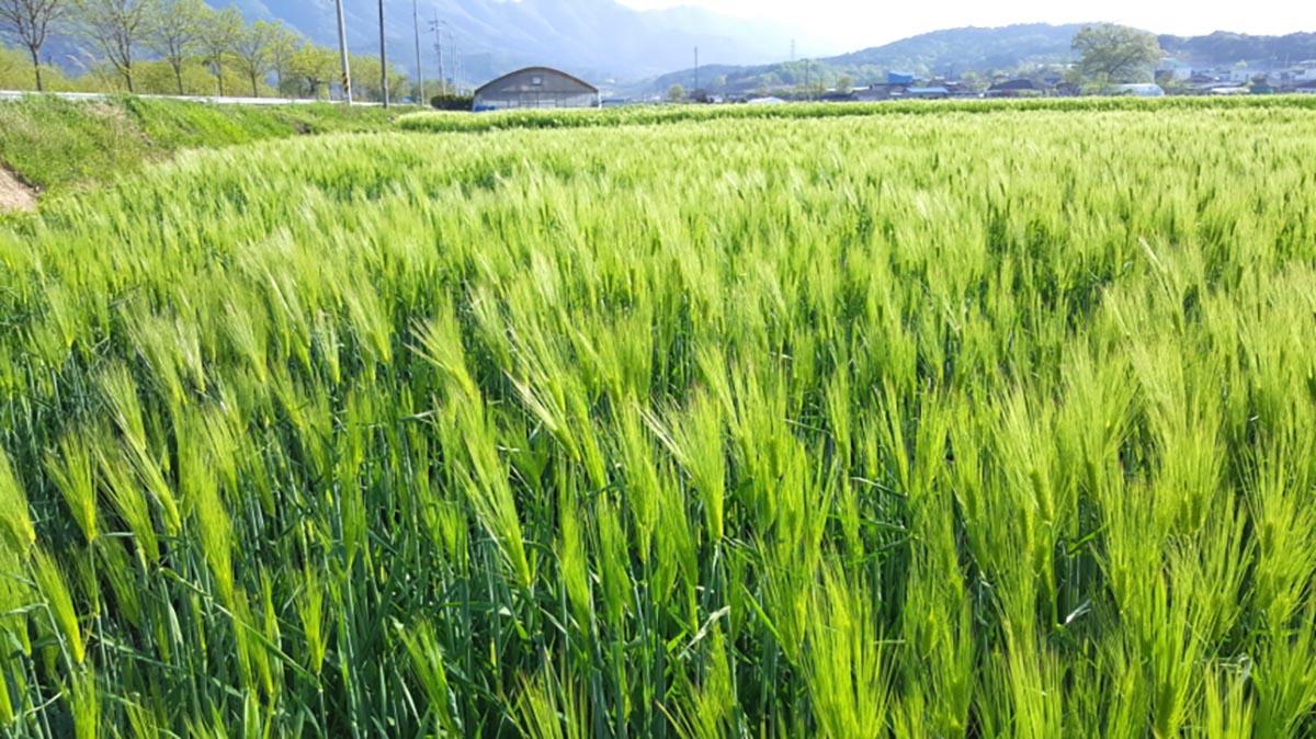 유기농 늘보리밭 사진
