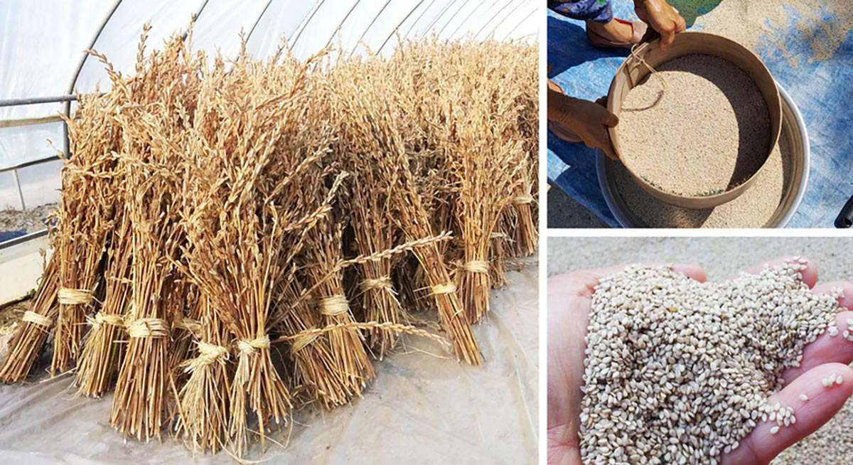 국산 참깨를 수확하는 모습